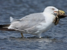 Ασημόγλαρος / Yellow-legged Gull (Larus michahellis) (K. Panagiotidis)