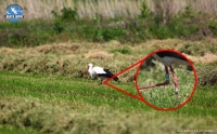 White Stork Ring Recovery