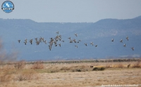 LIFE Project for the Lesser White-fronted Goose in Europe