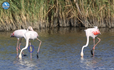 25 year old Flamingo in Evros Delta Wetland