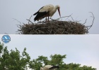 New breeding season for the Storks of Evros Delta