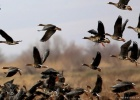 February: Time for geese in the Evros Delta