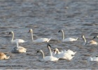 Another Mute Swan Recovery in Evros Delta