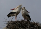 WHITE STORK BREEDING CENSUS IN POROS