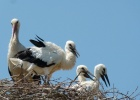 White Stork Census in Evros