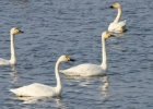 Extraordinary swan records in Evros Delta