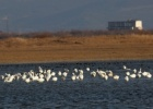 Latest waterfowl countings from Evros Delta