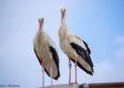 White Stork ring recovery in Soufli!