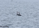 And Black Swans in Evros Delta…