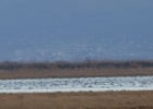 Another big swan concentration in Evros Delta !