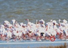 Impressive recoveries of ringed Flamingos in the Evros Delta