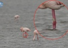 Recovery Ringed Flamingos