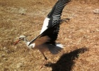 White stork release after rehabilitation