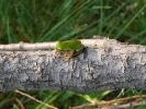 Δενδροβάτραχος / European Tree Frog (Hyla arborea) (E. Stets)