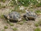 Γραικοχελώνα / Common Tortoise (Testudo graeca) (E. Stets)