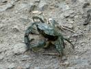 Καβούρι / Crab (E. Stets)