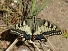 Πεταλούδα / Swallowtail butterfly (E. Stets)