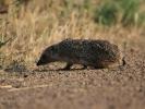 Σκαντζόχοιρος / Hedgehog (K. Panagiotidis)