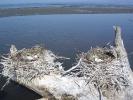 Φωλιές Κορμοράνων / Cormorant nests (Phalacrocorax carbo) (E. Makrigianni)