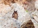 Μπούφος / Eagle Owl (Bubo bubo) (G. Alexandris)