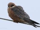 Μαυροκιρκίνεζο / Red-footed Falcon (Falco vespertinus) (K. Panagiotidis)