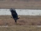 Βασιλαετός / Imperial Eagle (Aquila heliaca) (S. Mills)