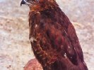 Γερακίνα / Buzzard (Buteo buteo) (A. Athanasiadis)