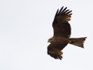 Τσίφτης / Black Kite (Milvus migrans) (S. Mills)