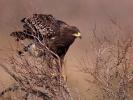 Στικταετός / Spotted Eagle (Aquila clanga) (S. Mills)
