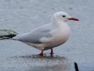 Λεπτόραμφος Γλάρος / Slender-billed Gull (Chroicocephalus genei) (K. Panagiotidis)