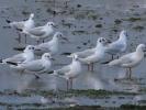 Καστανοκέφαλοι Γλάροι / Black-headed Gulls (Chroicocephalus ridibundus) (K. Panagiotidis)