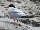 Ποταμογλάρονο / Common Tern (Sterna hirundo) (K. Panagiotidis)