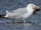 Ασημόγλαρος / Yellow-legged Gull (Larus michahellis) (K. Panagiotidis)
