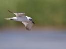 Γελογλάρονο / Gull-billed Tern (Gelochelidon nilotica) (S. Mills)