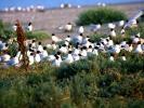 Μαυροκέφαλοι / Mediterranean Gulls (Larus melanocephalus) (A. Athanasiadis)
