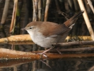 Ψευταηδόνι / Cetti's Warbler (Cettia cetti) (K. Panagiotidis)