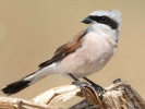 Αετομάχος / Red-backed Shrike (Lanius collurio) (K. Panagiotidis)