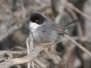 Μαυροτσιροβάκος / Sardinian Warbler (Sylvia melanocephala) (K. Panagiotidis)