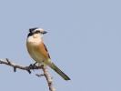 Παρδαλοκεφαλάς / Masked Shrike (Lanius nubicus) (G. Alexandris)