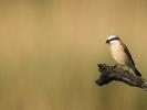 Αετομάχος / Red-backed Shrike (Lanius collurio) (Perantonakis)