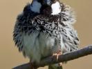 Χωραφοσπουργίτης / Spanish Sparrow (Passer hispaniolensis) (S. Mills)