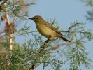 Θαμνοφυλλοσκόπος / Willow Warbler (Phylloscopus trochilus) (E. Stets)