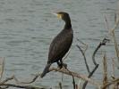 Κορμοράνος / Cormorant (Phalacrocorax carbo) (E. Stets)