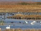 Πάπιες & χήνες /  Ducks & Geese (Anas sp., Anser sp.) (L. Stavrakas)