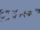 Νανόχηνες / Lesser White-fronted Geese (Anser erythropus) (K. Panagiotidis)
