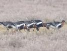 Κοκκινόχηνες / Red-breasted Geese (Branta ruficollis) (K. Panagiotidis)