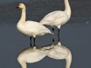 Νανόκυκνοι / Bewick's Swans (Cygnus columbianus) (S. Mills)