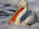 Αργυροπελεκάνος / Dalmatian Pelican (Pelecanus crispus) (S. Mills)