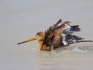 Λιμόζα / Black-tailed Godwit (Limosa limosa) (S. Mills)