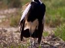 Αγκαθοκαλημάνα / Spur-winged Plover (Vanellus spinosus) (S. Mills)